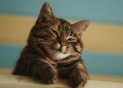 """bouncybat: """" mornorie: """" It looks so chuffed. """" swampgallows look at this cat """": Happy Kitty, Cats Gatos Neko Meow, Kitty Cats, Sleepy Kitty, Sweet Kitty, Cute Cats, Kitty Kitty, A Cats 2"""