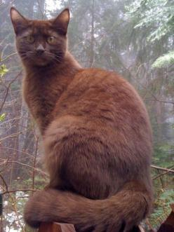 Chocolate cats are uncommon, because the gene that is associated with their lush mahogany coats is seen only in a small, select gene pool. All chocolate cats are descended directly from a single individual, a Havana Brown cat. The Havana Brown breed was c