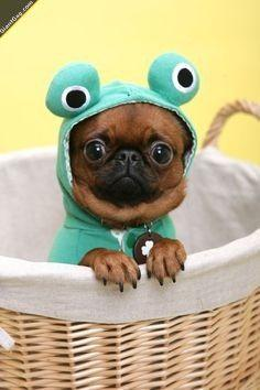 Cute Puppy In Frog Costume,  Click the link to view today's funniest pictures!: Cute Animal, So Cute, Cute Pug, Cute Dog, Cutest Animal, Adorable Animal
