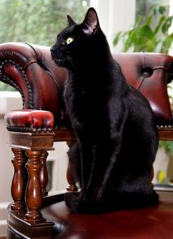 deep in thought... What a beautiful black cat. Beauty is in many things. We just have to look. Incensewoman: Kitty Cats, Beautiful Cats, Black Cats, Cats Black, Gorgeous Cat, Cats Kittens, Bombay Cat, Blackcat