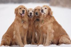 Dogs - I never had one, but the fact that they are in the world makes it happier for me.  Love all dogs :-): Dogs Puzzle, Beautiful Goldens, Goldenretrievers Olderdogs, Chasing Dog, Golden Retrievers, Pets Goldenretrievers, Dogs Pets, Dogs Goldens, Gorgeo