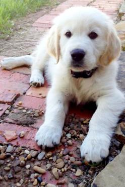 english cream retriever....OhMyGoodness!!!  So, so CUTE!!!!: English Cream Retriever, Cream Retrievers, Sweet Oliver S, English Retriever, English Golden Retrievers, English Cream Golden Retriever, Animal, Golden Retriever English Cream