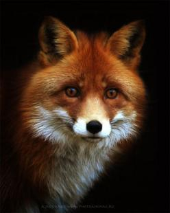 Fox's Wisdom Includes: Shape shifting, cleverness, observational skills, cunning, stealth, camouflage, feminine, courage, invisibility, ability to observe unseen, persistence, gentleness, swiftness, wisdom, reliable friend, magic, shape shifting  stea