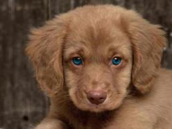 golden cocker retriever full grown, always looks like a puppy: Cute Puppies, Puppy Love, Adorable Animals, Cocker Spaniel, Beautiful Eyes, Blue Eyes, Cute Animals, Furry Friends, Golden Retriever