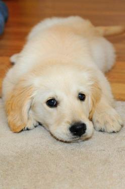 golden retriever pup: Golden Retrievers, Puppys, Dogs Puppies, Labrador Puppies, Furry Friends, Animal, Puppy S