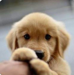 Golden retriever puppies | Dogs | Golden Retrievers: Cute Puppies, Puppies Dogs, Golden Retrievers, Fluffy Golden Retriever Puppy, Baby Puppies, Golden Puppy, Golden Retriever Puppies