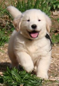 Golden Retriever , want this baby.: Baby Golden Retrievers, Homestead Goldens, Chubby Puppy, Golden Puppy, Goldens Llc, Golden Retriever Puppies, Chubby Dogs