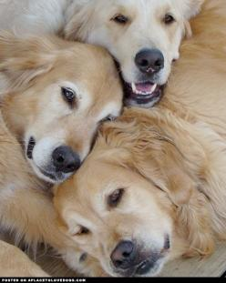 Golden Retrievers Cuddling - A Place to Love Dogs   ...........click here to find out more     http://googydog.com: Golden S, Golden Retrievers, Sweet Golden, Pet, Puppy Pile, Dog S, Animal, Golden Retriever