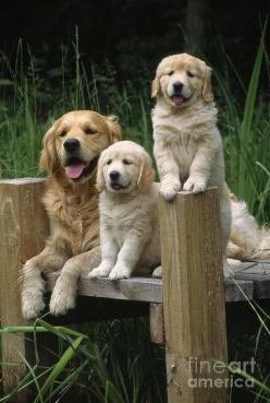 Golden Retrievers: Golden Retrievers, Retrievers Dogs, Family Photos, Dogs Puppies, Retriever Family, Gorgeous Golden