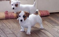 Google Image Result for http://images01.olx.com/ui/5/80/26/1271198983_87737426_1-Pictures-of--Jack-Russell-Terrier-Puppies-for-Sale-1271198983.jpg: Animals Doggies, Jack Russells, Jack Russell Puppies, Jack Russell Terriers, Dogs Russells Jack, Jack Russe