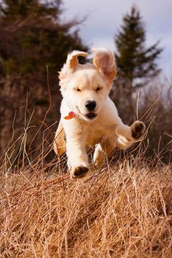 Great action shot of a golden retriever puppy!   Photo from Flickr member ghettosigma.  Pet Photography | Dog | Puppies: Golden Retrievers, Adorable Animals, Happy Puppy, Happy Golden, Golden Puppy, Golden Retriever Puppies