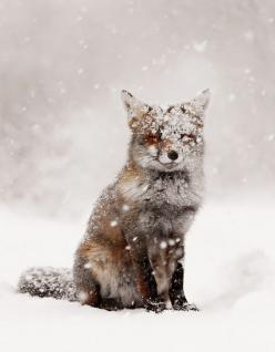 He's like me. Happy to be in the snow.: Cute Fox, Winter Wonderland, Snowy Fox, Red Fox