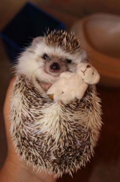 Hedgehogs like to feel warm 'n fuzzy all over too.: Cute Hedgehog, Teddy Bears, Bedtime Buddy, Hedgehog S, Hedgie, Hedgehog Pet, Cuddling Hedgehog, Hedgehogs, Animal