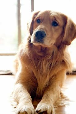 His facial expression is as if he was human. There is such a depth to his/her personality. Incredible!: Golden S, Beautiful Golden, Golden Retrievers, Golden Retreiver, Beautiful Dogs, Animal