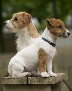 Jack Russel Terriers, no better dogs: Jack Russells, Jrt S, Dogs Jack, Jack Russell Terriers, Jack O'Connell, Jack Russell S, Better Dogs