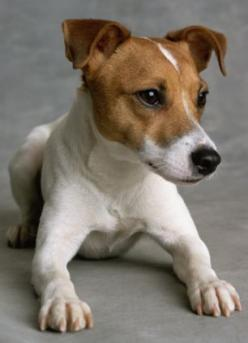 Jack Russell Terrier - looks like our Jack!: Doggies Jack Russells, Dogs Jack Russells, Parson Russell Terriers, Jack Russell Terriers, Jack O'Connell, Jack Russell Terrier Puppies, Jack Russell S, Jack Russel Terrier, Jack Russell Dogs