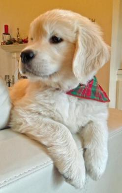 Jack the Golden Retriever - The Daily Puppy: Golden S, Puppies Dogs, Handsome Guy, Golden Retrievers, Pet, Golden Puppy, Dog S, Golden Retriever Puppies