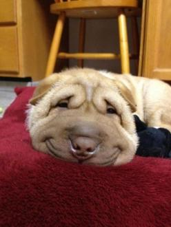 Keep On Smiling,  This puppy is so cute, he is totally smiling!!!: Shar Pei, So Cute, Sharpei, Funny Animal