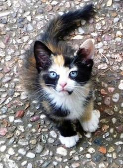 Love the markings of this little one!: Beautiful Cat, Kitty Cat, Blue Eyes, Eyed Calico, Calico Cats, Cat S, Cats Kittens, Cat Lady
