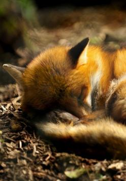 Mrs Amber Apple: Beautiful Animal, Red Fox