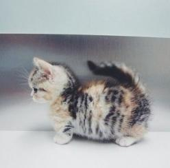 Munchkin cat. Don't think it's real but it's precious!: Kitty Cats, Cuteness Overload, Adorable Kittens, Munchkin Kitten, Kitty S, Munchkin Cats, Cats Kittens, Kittycat, Cat Lady