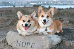 OMG...I have one Corgi & one Chihuahua/Maltese mix...if I had 2 Corgis, it would be double cuteness like this!: Welsh Corgi, Corgi Pembroke,  Pembroke Welsh Corgi, Corgie Puppys, Ermagerd Corgis, Corgis Rule, Fluffy Corgis, Heart Corgis, Lovable Corgi