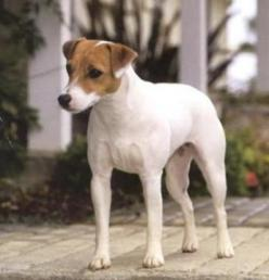 "One day, I also want a Jack Russell like this, which I will name Queenie (after the dog in Truman Capote's classic story ""A Christmas Memory""): Jack Russells, Jack Russell Puppies, Addahna S Animals, Jack Russell Terriers, Art Jack, Jack O&#39"