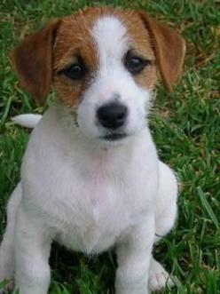 Parson Russell Terrier :): Jack Russells, Parson Russell Terriers, Jack Russell Terriers, Jack O'Connell, Russell Pup, Jackrussel, Adorable Animal