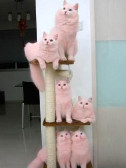 pink cats <3: Kitty Cat, Funny Cat, Crazy Cat, Cat Trees, Pink Cat, Cat Lady, White Cat