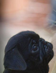 Puggy in profile ♥ Clean pug! Pug Love dog doggie puppy boy girl black fawn funny fat outfit costume