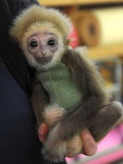 Really Cute Animal Pictures: Baby Monkey, Adorable Animals, Wearing Sweater, Sock Monkey, Baby Gibbon, Baby Animals