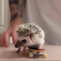 Skateboarding Hedgehog: Hedge Hog, Cute Animal, Skateboarding Hedgehog, Adorable Animals, Hedgehog Skateboarding, Skateboarding Hedgie, Baby Hedgehogs, Tiny Skateboard
