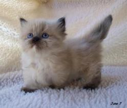So adorable! I could totally waste 5 hours looking at pictures of cats. They're just.....SO CUTE: Ragdoll Cat, Kitty Cats, Kitty Kitty, Kitty S, Munchkin Cats, Himalayan Cat, Cat S, Munchkin Kittens, Adorable Animal