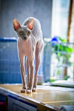 Sphynx Cat on the alert.: Cats Hm, Sphynx Cats, Beautiful Cats, Sphynx Kitty, Adorable Cat, Hairless Cats, Kitty Kitty, Sphinx Cat, Cats And Dogs