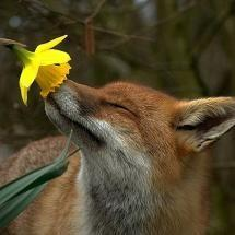 Take time to smell the flowers!: God S, Adorable Animals, Animal Kingdom, Fox Smelling, Cute Animals, Photo, Red Fox