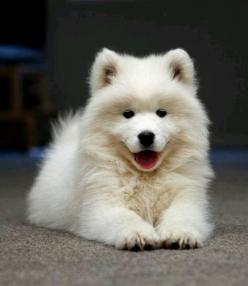The cutest puppies ever :) #samoyed: Samoyed Puppy, Samoyed Puppies, So Happy, Samoyed Dogs, Samoyed S, Beautiful Dogs