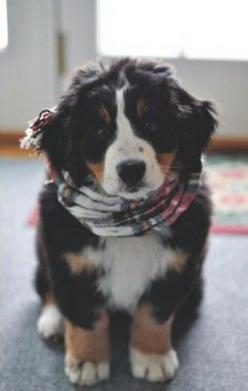 Without opposable thumbs? Impressive.: Doggie, Cutest Puppy, Cute Puppies, Bernese Mountain Dogs, Burmese Mountain Dog, I Will