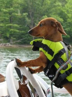 """Lemme see your license and registration sir..."": Weenie Dogs, Doxi, Life Vest, Wiener Dogs, Dachshund S, Cute Dogs, Animal"