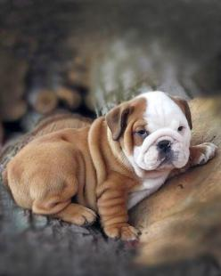 5 interesting fun facts about English Bulldogs, fact#04: Cute Bulldogs, Animals Dogs, English Bulldog Puppies, English Bulldogs, Englishbulldogs Puppies, Bulldogs K9Friends, Pets Englishbulldogs