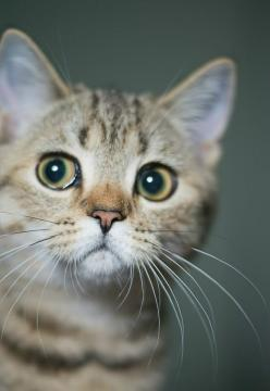 A cat with innocent eyes: Kitty Cats, Cat Eyes, Animals Photoshoot, Cats And Kittens, Cats Kittens, Cats Tho, Cats 01