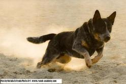 australian cattle dog - Bing Images: Australian Cattle Dogs, Herding Dog, Dogs I Ve, 1001 Dogs, Dogs Blue, Ausi Dogs, Acd S Heelers, Acd Heelers, Cow Dogs