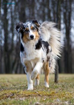 Australian Shepards: Australian Shepard, Border Collies, Australian Shepherd Dogs, Australian Sheperd, Australian Shepherds, Dogs Puppies, Beautiful Dogs