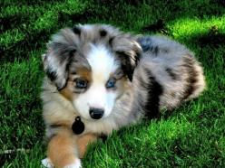 australian shepherd: Australian Puppy, Puppys, Calico Puppy, Australian Shepherd Puppies, Animal, Future Dogs, Puppy S
