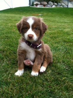 Australian shepherd. Only the cutest puppy ever!: Puppy Smile, Puppy Love, Cutest Puppy Ever, Cutest Puppies, Box, Dog, Animal