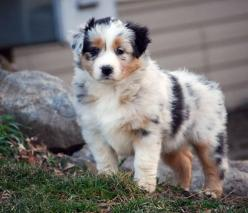 Australian Shepherds: Aussie S, Aussie Pups, Australian Sheepdog, Aussie Puppies, Little Dogs, Cute Dogs, Back Yard