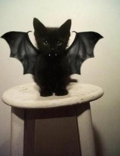Aww looks like little Olive! I so want to do this.: Batcat, Halloween Costumes, Bat Kitty, So Cute, Black Cats