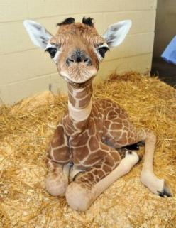Baby Giraffe. Look at his sweet little face!: Baby Giraffes, Cute Animals, Favorite Animal, Baby Animals, Cute Babies, Adorable Animal