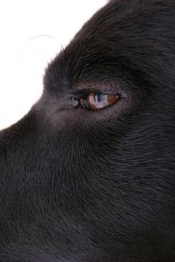 Basho - black labrador: Lab Eye, Labrador Eyes, Everyday Alldogsgotoheaven, Black Dogs, Labs Jr, 10Nescute Dogs, Amber Eyes, Black Labs, Black Labrador