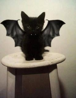 bat kittie for halloween: Halloween Costume, Cute Animal, Bat Kitty, Black Cats, Blackcat