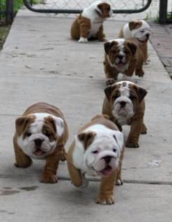Bulldog puppy dogs!!!Give me all of them!!!AAAAAWWWW I WOULD DIE also in my future home,I'd like a male named King: Englishbulldog, Bulldog Puppies, English Bulldogs, Puppy, English Bull Dog, Bull Dogs